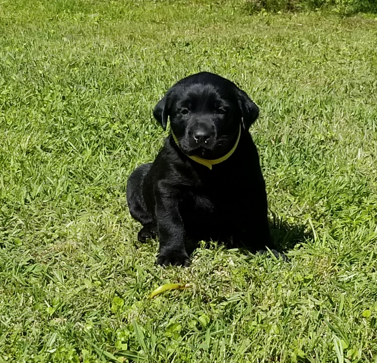 Coolwaters Bad Bad Leroy Brown QAA MH MNH x SHR Black Magic Potion of RFC (Coolwater Kennel Lineage Litter) 7
