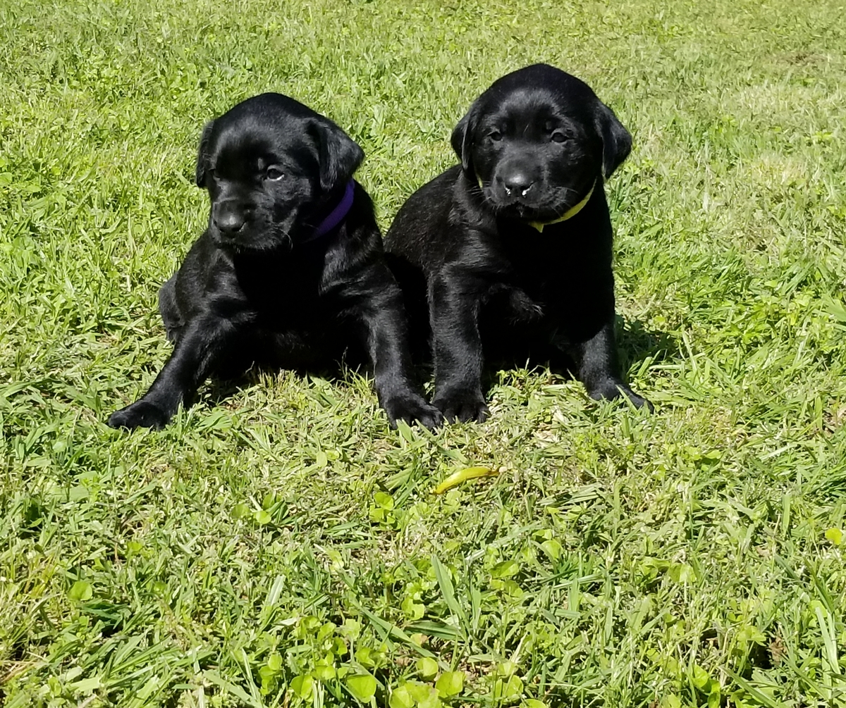 Coolwaters Bad Bad Leroy Brown QAA MH MNH x SHR Black Magic Potion of RFC (Coolwater Kennel Lineage Litter) 4